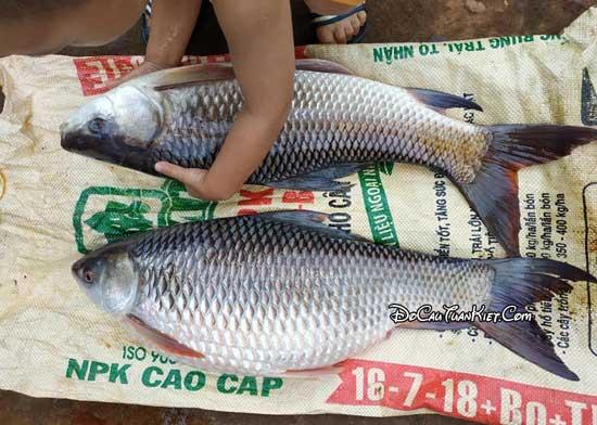 Cách làm mồi câu cá trôi đỏ trắng ấn độ hiệu quả cho cần thủ