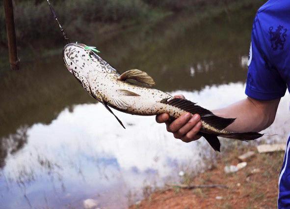 Cần câu nào phù hợp để câu cá lóc với giá cả hợp lý?