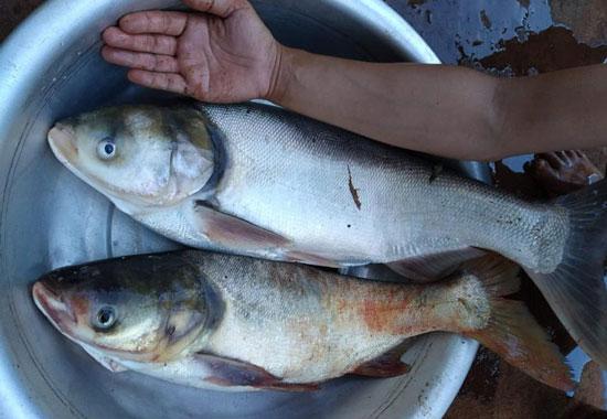 Cách làm mồi câu cá mè hóa, cá mè vinh, cá mè đầu bò hồ tự nhiên và dịch vụ
