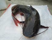 Hướng dẫn cách làm mồi câu cá lăng sông hồ nhạy nhất
