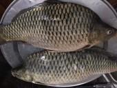 Địa điểm bán mồi câu cá trôi chép trắm ở hà nội
