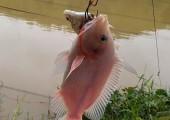 Câu cá diêu hồng nên sử dụng mồi nào thích hợp và nhạy nhất?