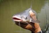 Mồi câu cá nheo sông với ao hồ tự nhiên bằng mồi gì hiệu quả nhất?
